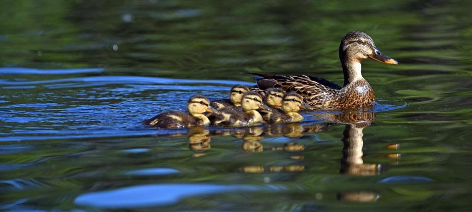 mother duck and ducklings story pdf