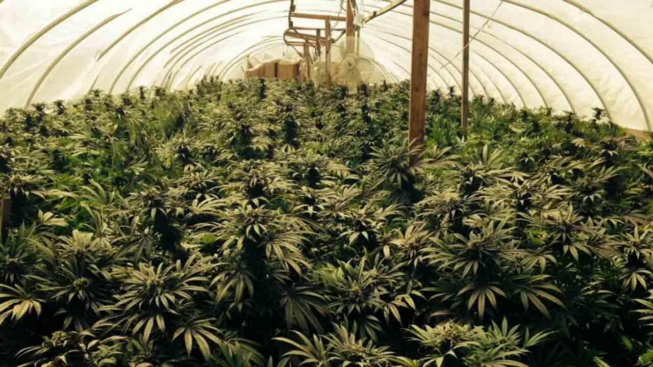 nz marijuana growing guide
